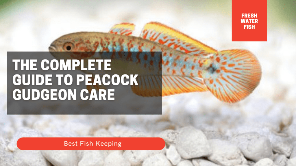 The Complete Guide to Peacock Gudgeon Care