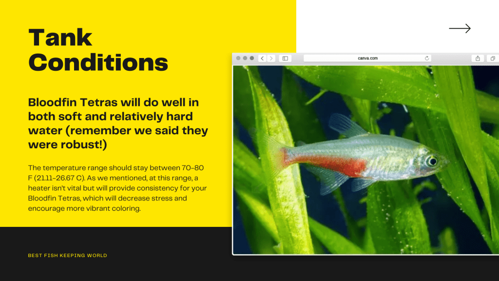 tank conditions for bloodfin tetra