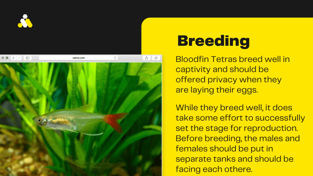 bloodfin tetra breeding