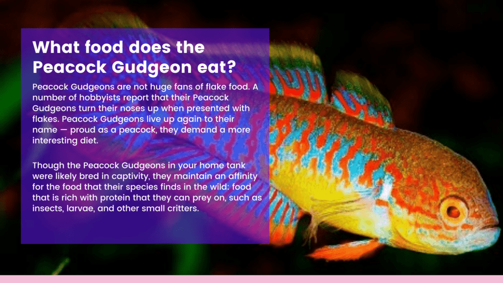 What food does the Peacock Gudgeon eat