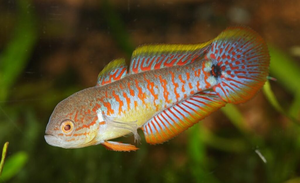 What different diseases can your Peacock Gudgeon get infected with?