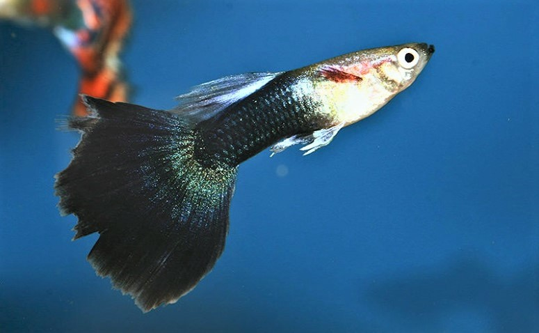 Guppy Specific diseases