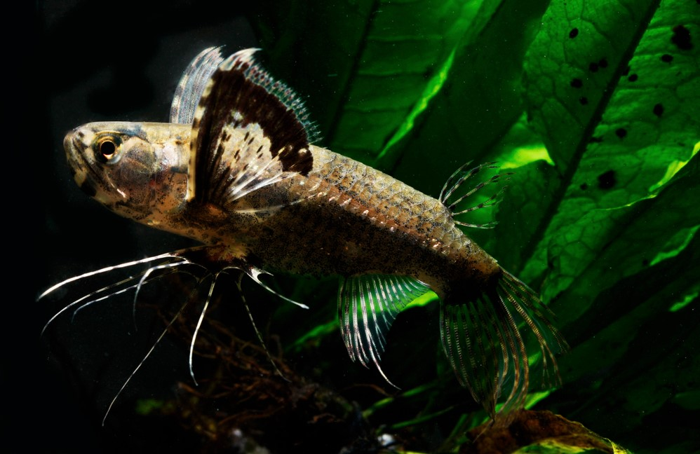 Pantodon or Butterfly Fish care